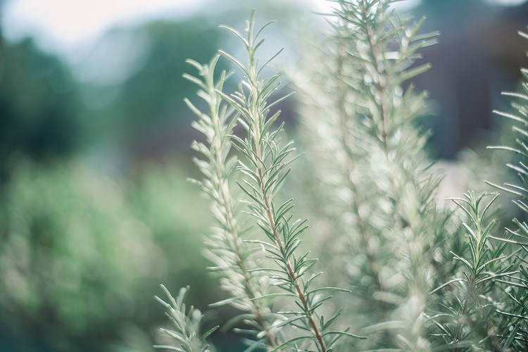 Rosemary can reduces vinegar smelling of sweat
